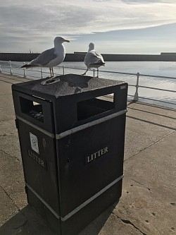 Seagulls at Whitby Habour